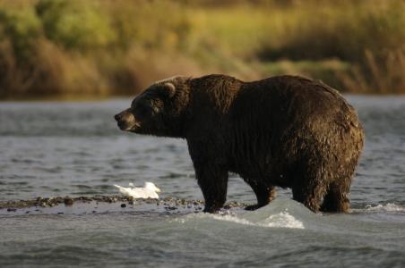 熊, 成人, 肖像, 野生动物, 自然, 查找, 捕食者