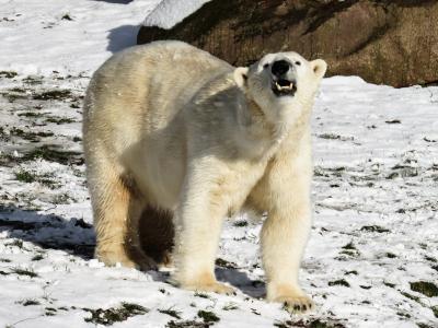 北极熊, 捕食者, 纽伦堡, 危险, 雪, 冬天, 蒂尔加滕