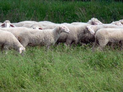 羊, 羊毛, 草甸, 集团, 吃草, 软, schäfchen