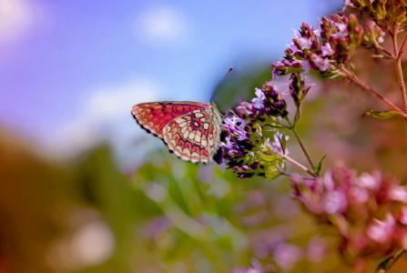 花, 蝴蝶, 颜色, 自然, 夏季, 宏观, 多彩