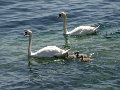 天鹅, 鸭子, 鹅, 动物, 鸭子家庭, 湖, 水
