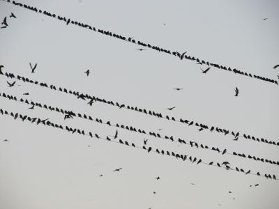 鸟类, 柯克, 羊群, 乌鸦, 电线, 群, 飞行