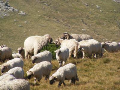 羊群, 放牧, 羔羊, 山, 罗马尼亚, 羊, 动物