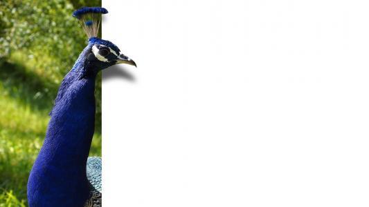 孔雀, 鸟, 羽毛, 蓝色, 地图, ebv, 图像编辑