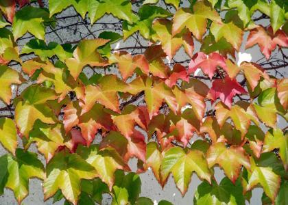 葡萄树, 兰克, 墙上, 背景