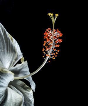 木槿, 开花, 绽放, 花, 白色, 棉花糖, 锦葵