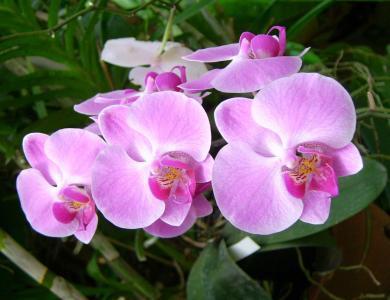 兰花, 花, 植物, 自然, 美丽, 花香, 粉色
