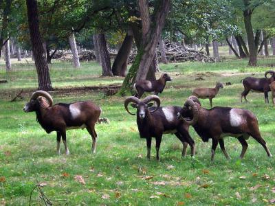 muflon, 羊, 山羊, 喇叭, 野生, 羊群, 秋天的树林