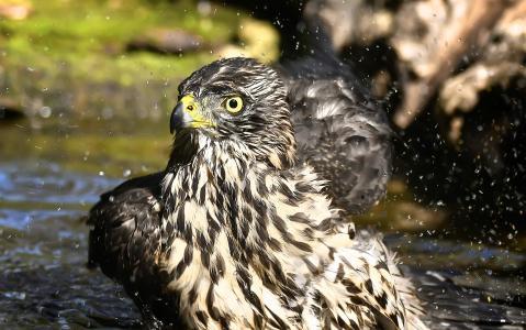 鸟类, 阿斯特, 洗澡, 鸟, 动物, 自然, 野生动物