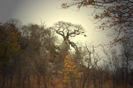 猴面包树, 非洲, 树, 有机, 农业, 户外, 环境