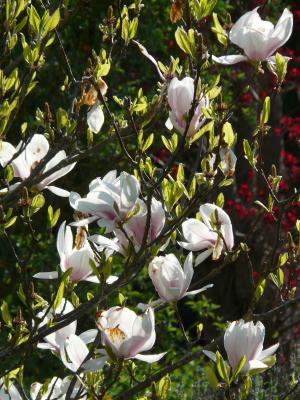 木兰, 郁金香玉兰, 树, 布什, 花, 绽放, 白色
