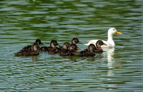 鸭, 小鸭, 家庭, 巢, 池塘, 鸟, 动物