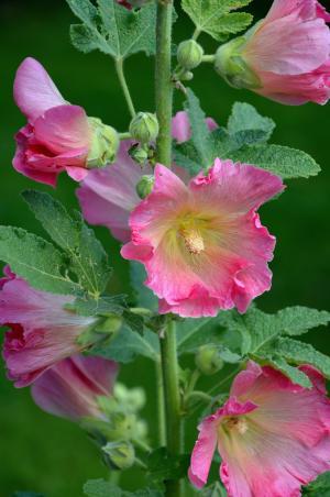股票的玫瑰, 锦葵, 花, 花, 花园, 粉色, 宏观