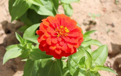 百日草, astrov, 花园里的花, 家庭菊科, 红色的花朵, 红色的花, 花