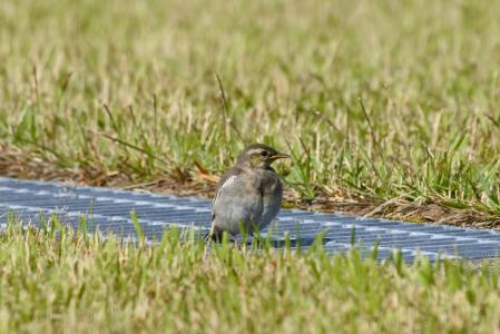 动物, 公园, 草, 草坪, 小鸟, 高安全级别, 那只幼鸟