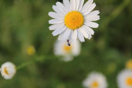 洋甘菊, 村庄, 宏观, 字段, 杂草, 田野里的雏菊, 蚂蚁