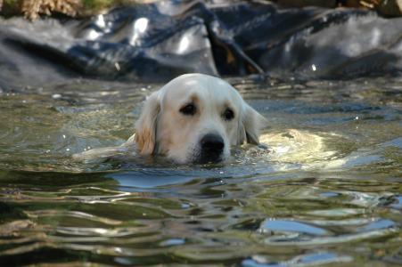 金毛猎犬, 狗, 池塘