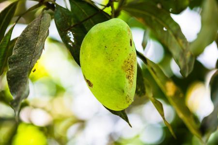 芒果, 芒果树, 水果, 水果, 青芒果