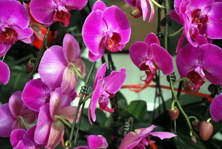 兰花, 兰花, 紫色, 家庭, 花, 花