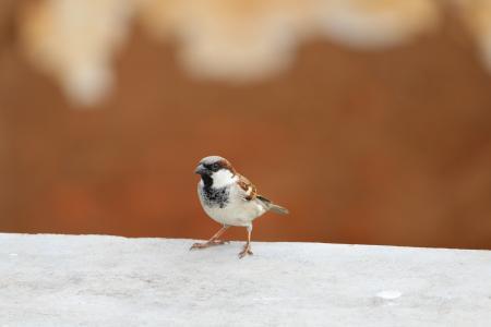 麻雀, 鸟类, 自然, 动物, 羽毛, 翼, 飞