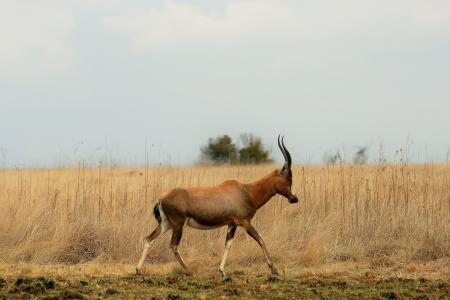 羚羊, 羚羊, 动物, 游戏, 野生动物, 红色, 大火
