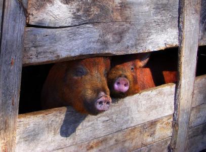猪, 钢笔, 猪圈, 动物, 牲畜, 猪, 哺乳动物