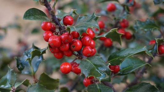 冬青树, houx, stechpalme, 冬青树, boix 光润, 圣诞节, 自然