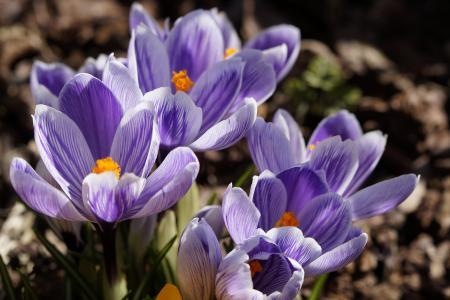 花, 番红花, 蓝色, 光明, 绽放, 春天, 关闭