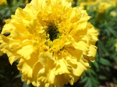 宏观, 万寿菊, 小清新, 花, 阳光, 黄色的花瓣