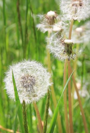 蒲公英, 草甸, 花草甸, 绿色, 春天, 草, 花
