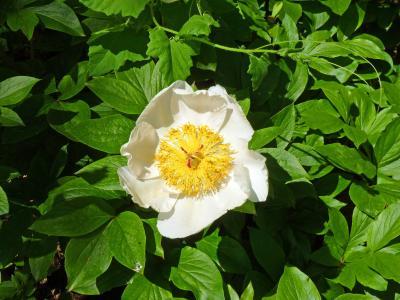 花, 牡丹, 开花, 春天, 花园, 白花, 叶