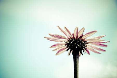 开花, 绽放, 非洲菊, 花, 春天, 浪漫, 情人节那天