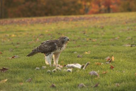 鹰, 杀, 鸟, 猎物, 喙, 自然, 捕食者