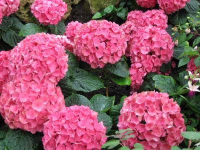 花, 粉色, 绣球花, 棕榈花园