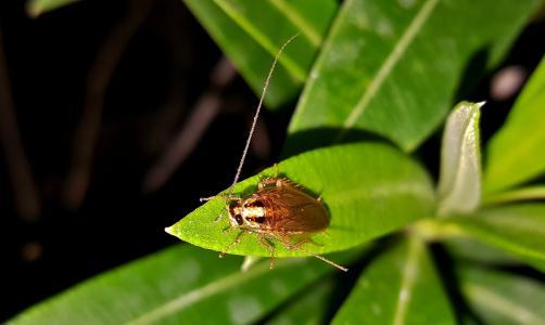 蟑螂, 蟑螂, 德国蟑螂, 昆虫, bug, 昆虫, 害虫
