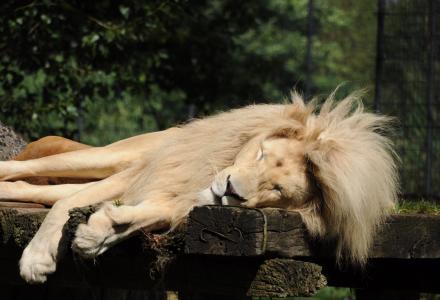 狮子, 动物园 cloppenburg, 睡觉, 男性, 鬃毛, 捕食者, 狮子的鬃毛