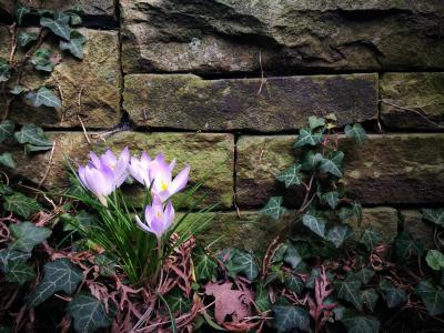 紫色的番红花, 石头墙, 墙上, 石头, 常春藤, 春天的开始, 花