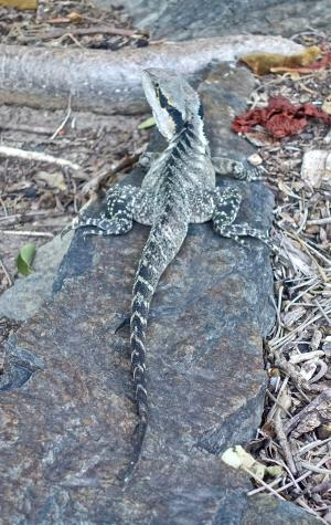 蜥蜴, 龙吸水, 自然, 动物, 热带, 澳大利亚, 捕食者