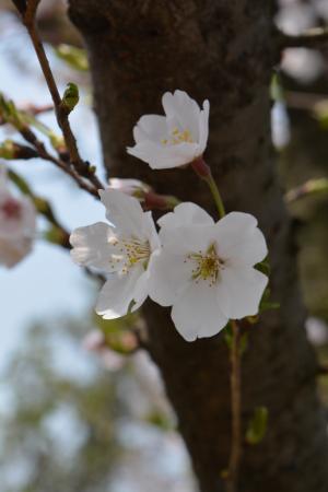 白色, 樱花, 春天