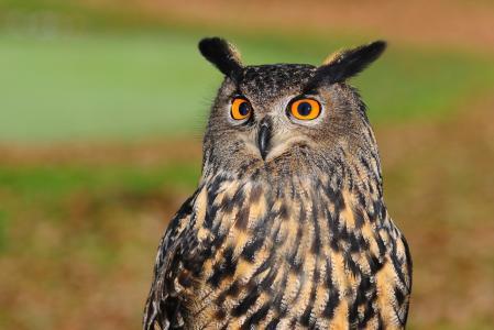 欧洲大雕, 鸟的猎物, 猫头鹰, 鸟, 锋利的看, 一种动物, 肖像