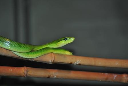 蛇, 野生, 爬行动物, 自然, 动物, 野生动物, 蜥蜴