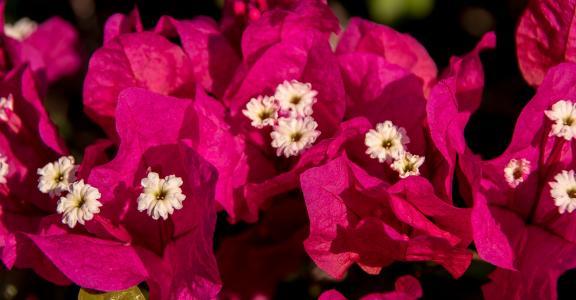 簕杜鹃, 花, 绽放, 粉色, 白色, 花园, 亚热带