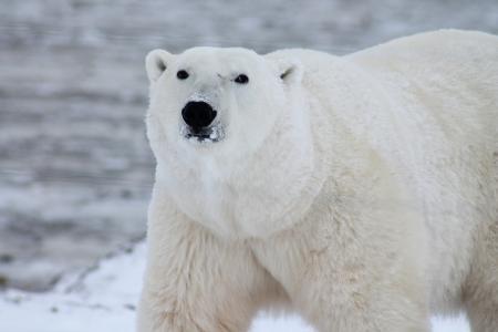动物, 北极熊, 捕食者, 雪, 白色, 野生, 野生动物