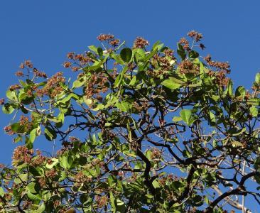 腰果树, sadhankeri, 印度, 树, 有机, 农业, 户外