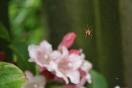 樱花, 蜘蛛, 宏观, 花