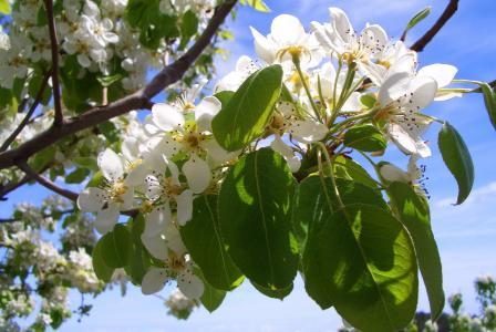 树上苹果, 开花, 绽放, 苹果树上的花, 春天