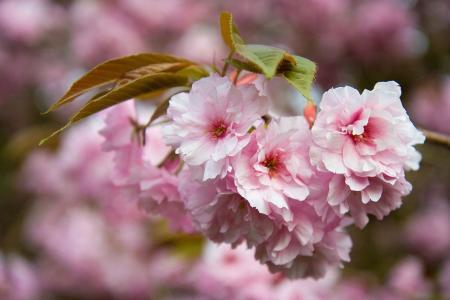 花, 粉色, 花瓣, 树, 春天, 花香, 植物区系