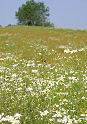 草甸, 洋甘菊, 春天, 阳光灿烂的日子, 草, 植被, 夏季