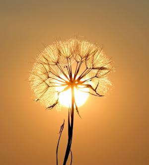 蒲公英, 太阳, 露水, 水, 植物, 日落, 自然