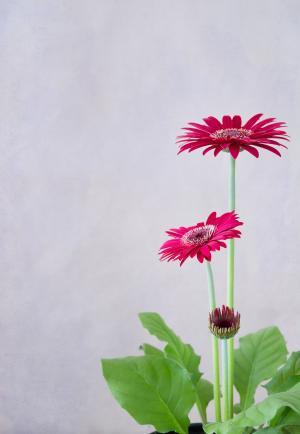 非洲菊, 花, 红色, 花, 花瓣, 植物, 关闭